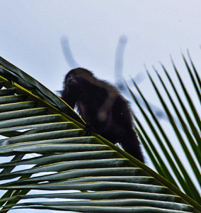 Palenque howler monkey the next adventures